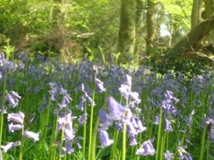 Bluebells just 10 mins walk from Cottage Lodge