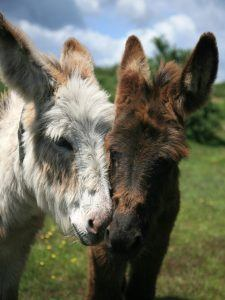 Charming donkeys for children in the new forest to see.